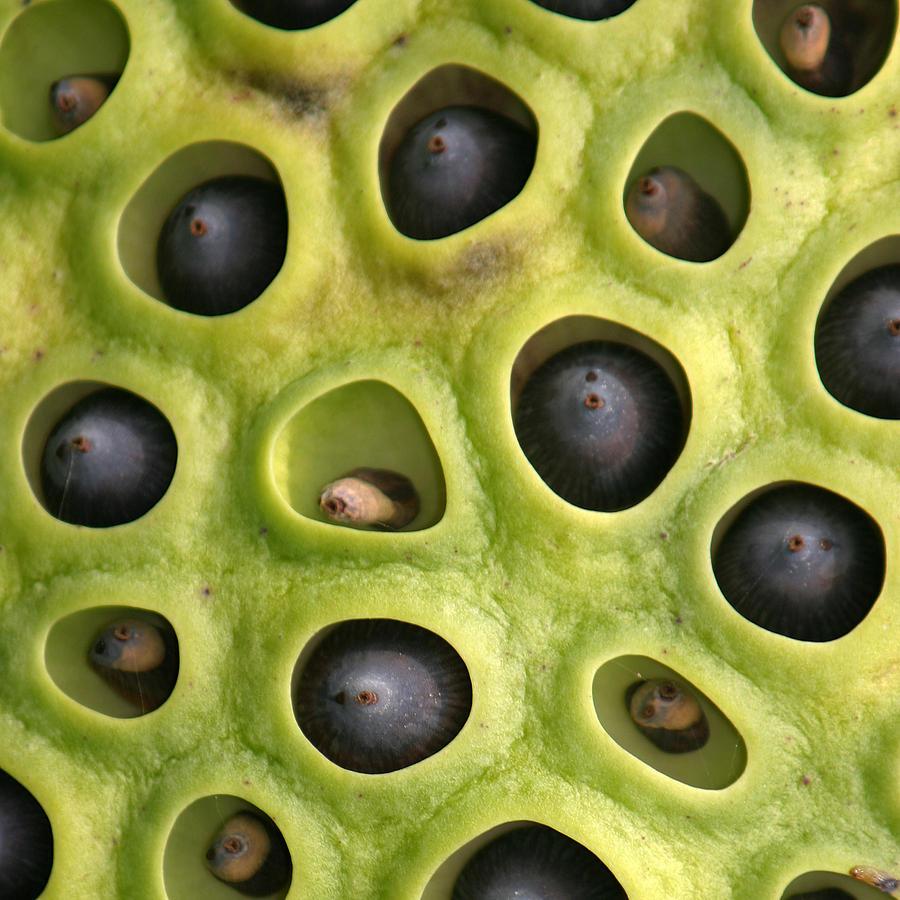 Lotus Seed Pod Lektonfo