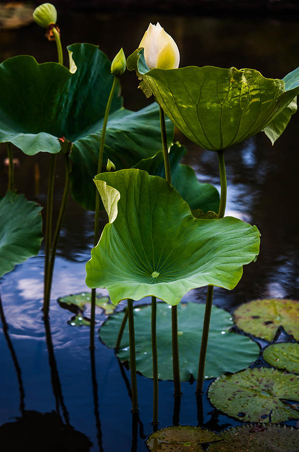 Lotuses In The Evening Light. Vertical Photograph