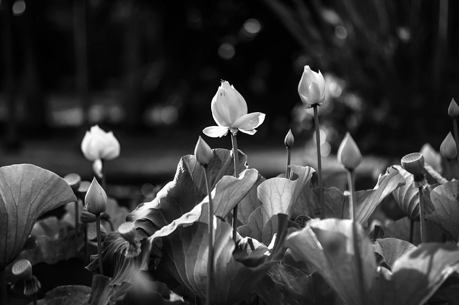Lotuses In The Pond. Black And White Photograph