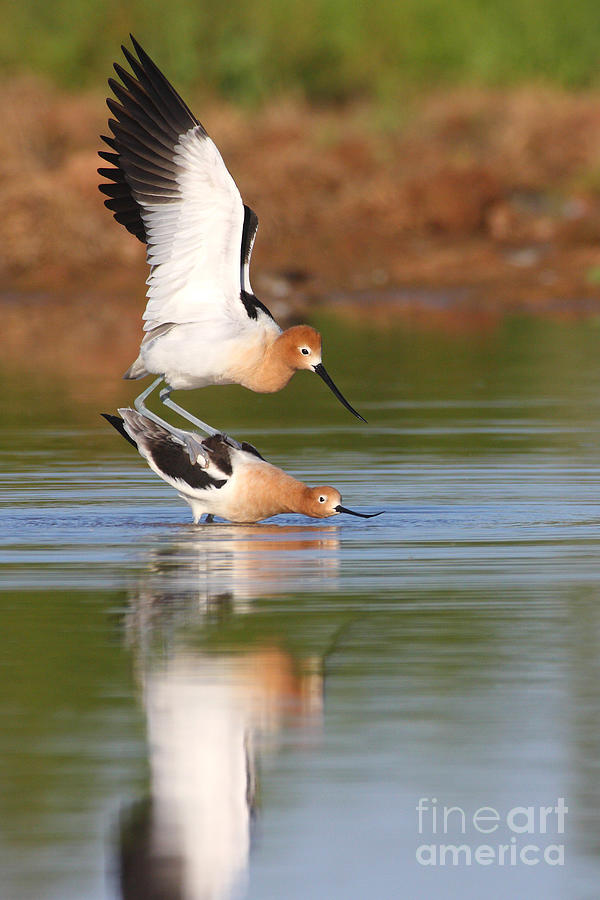 Love Avocet Style Photograph