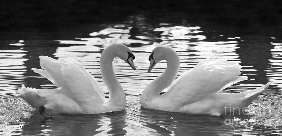 Swan Photograph - Love Swans by Brandon Alms