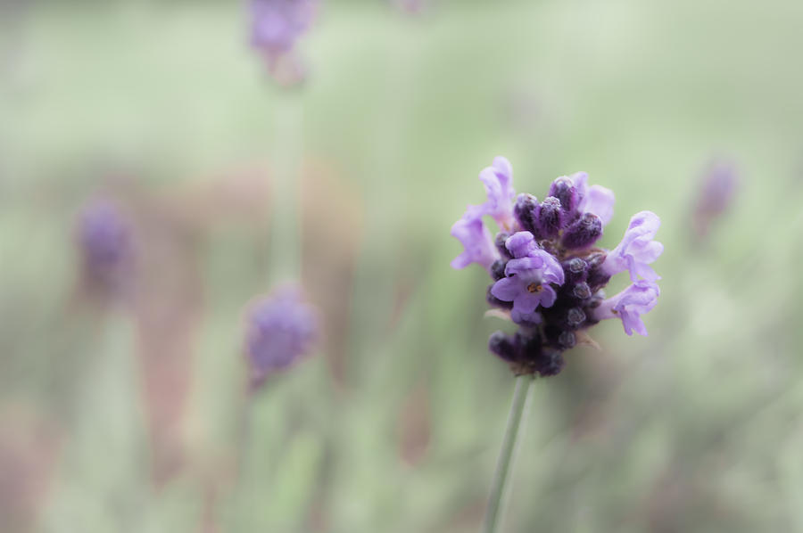 Lovely Lavender Photograph  - Lovely Lavender Fine Art Print