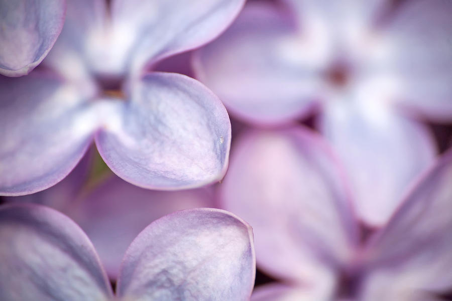 Lilacs Photograph - Lovely Lilacs by Peggy Collins