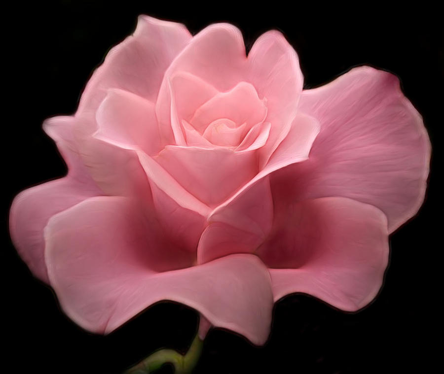 Lovely Pink Rose Digital Art