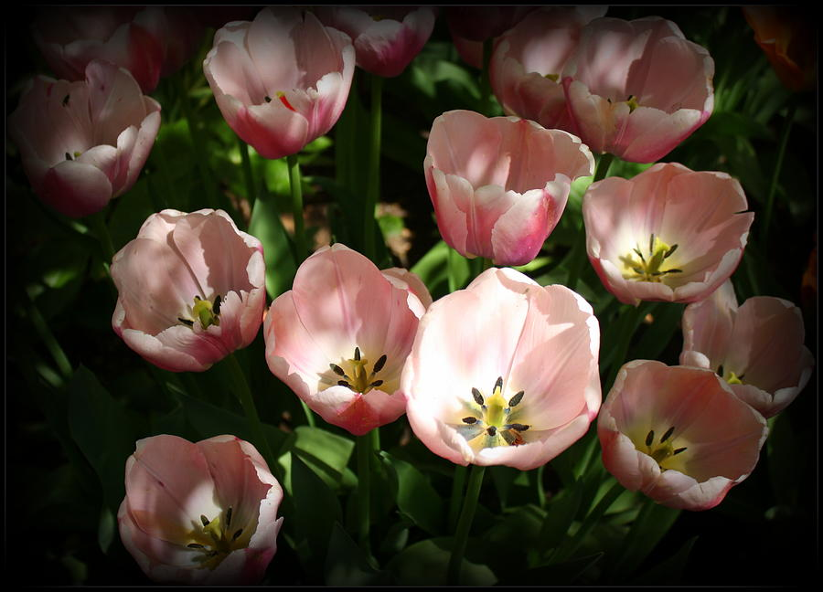 Lovely Pink Tulips Photograph - Lovely Pink Tulips by Dora Sofia Caputo Photographic Art and Design