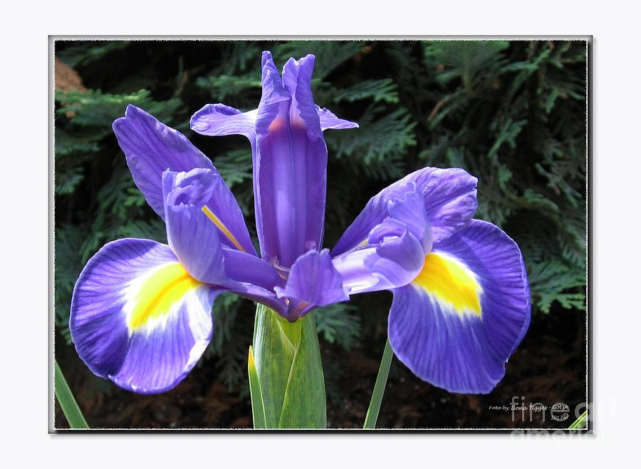 Lovely Purple Iris Photograph