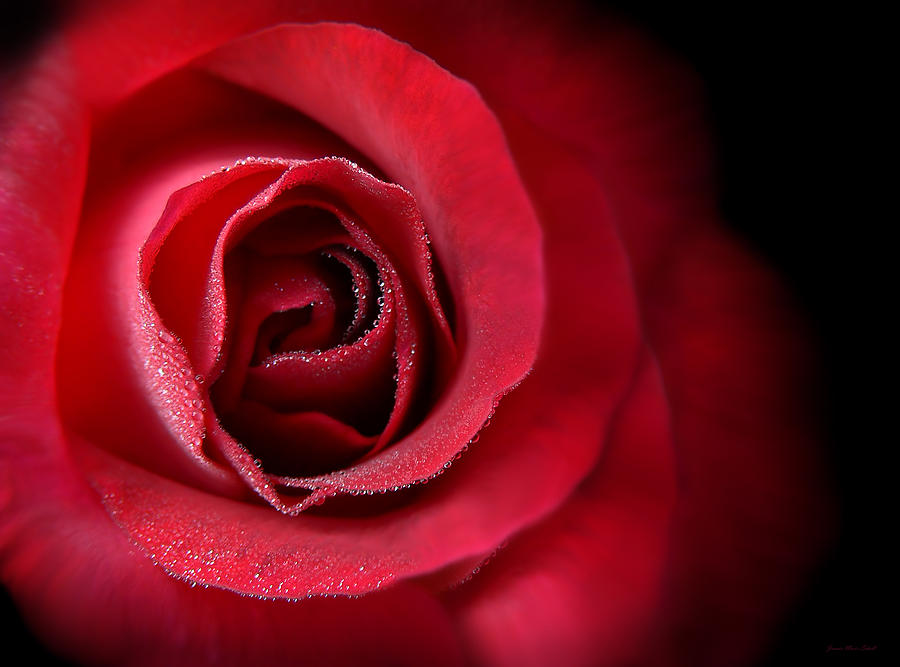 Loves Eternal Red Rose  Photograph