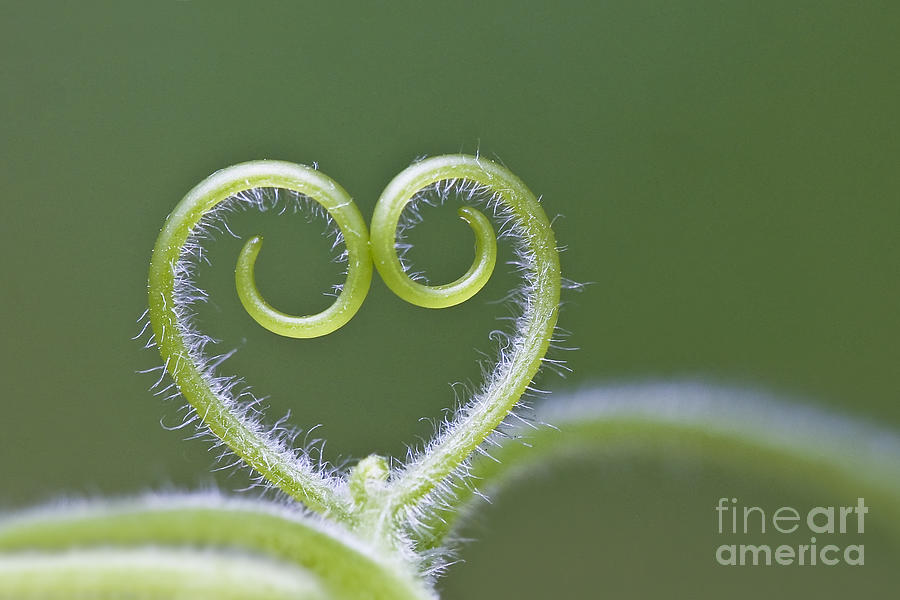 Tendril Photograph - Loving Nature by Maria Ismanah Schulze-Vorberg