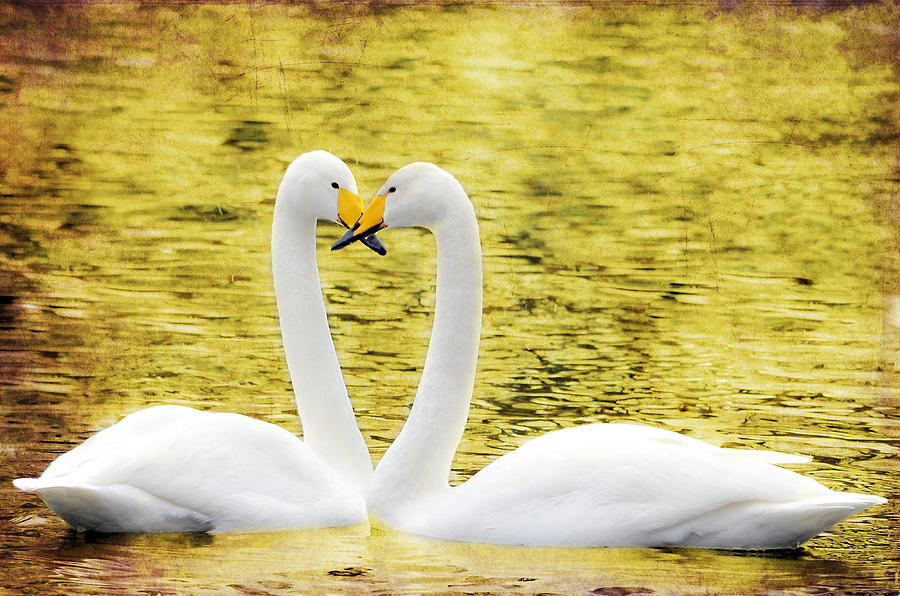 Loving Swans Photograph  - Loving Swans Fine Art Print