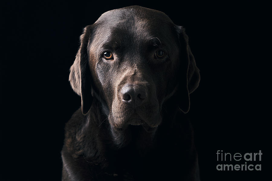 Low Key Chocolate Labrador Photograph