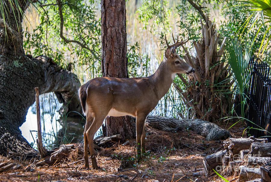 Lowcountry Deer Photograph