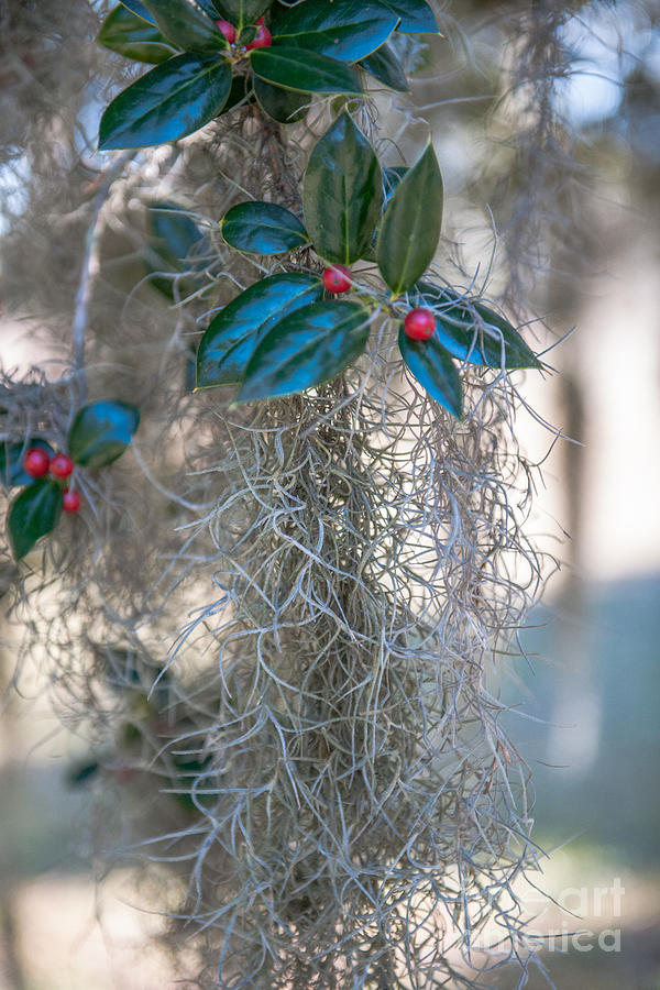 Lowcountry Style Spanish Moss Photograph