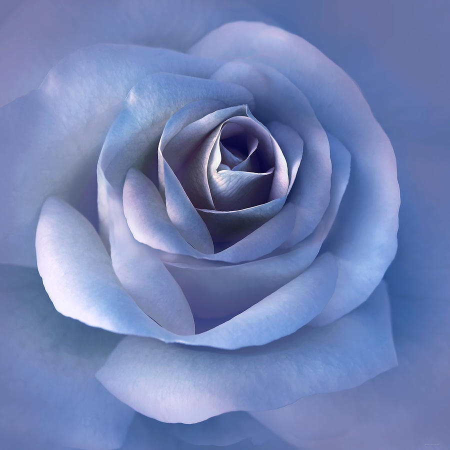 Luminous Lavender Rose Flower Photograph