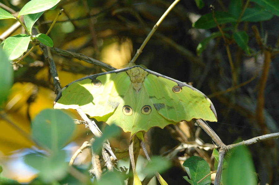 Luna Moth In The Sun Photograph  - Luna Moth In The Sun Fine Art Print
