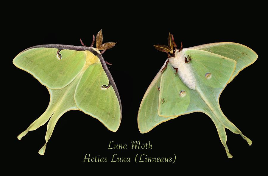 Luna Moth Photograph - Luna Moth by Kristin Elmquist
