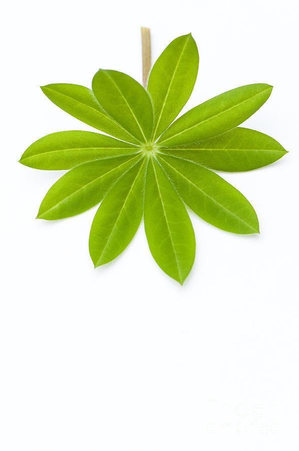 Lupin Leaf Photograph