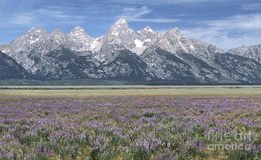 Lupine And Grand Tetons Photograph  - Lupine And Grand Tetons Fine Art Print