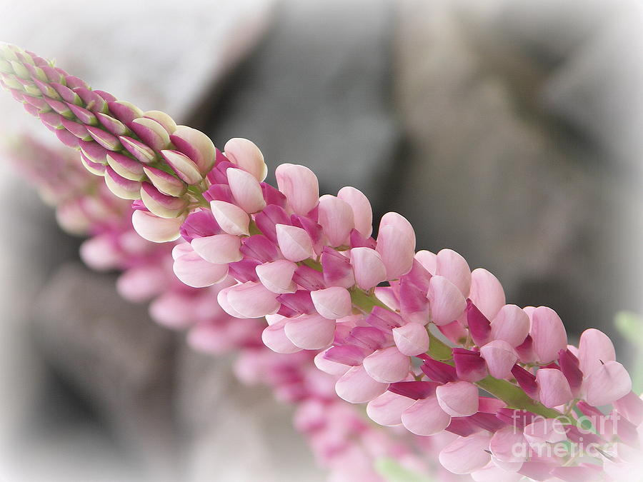 Lupine Flower Photograph  - Lupine Flower Fine Art Print