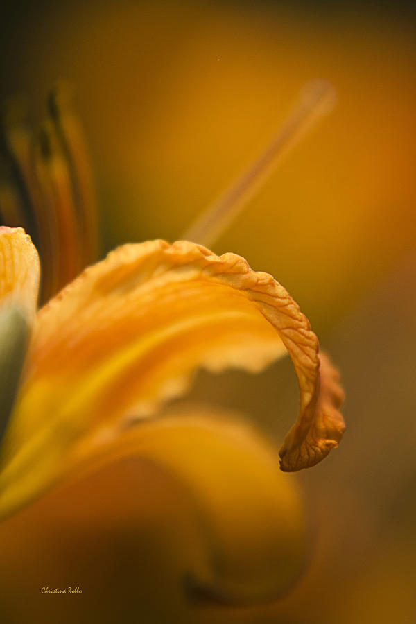 Luscious Orange Tiger Lily Photograph
