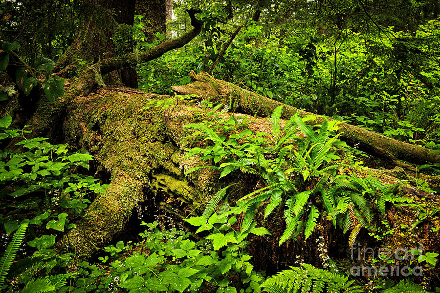 Lush Temperate Rainforest Photograph