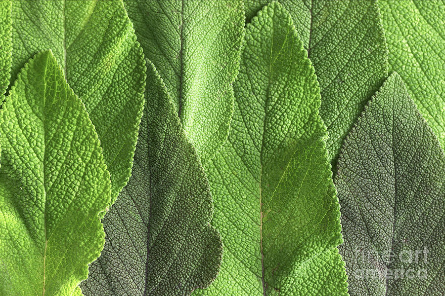 M7500790 - Sage Leaves Photograph  - M7500790 - Sage Leaves Fine Art Print