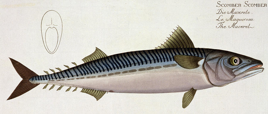 Fish Painting - Mackerel by Andreas Ludwig Kruger
