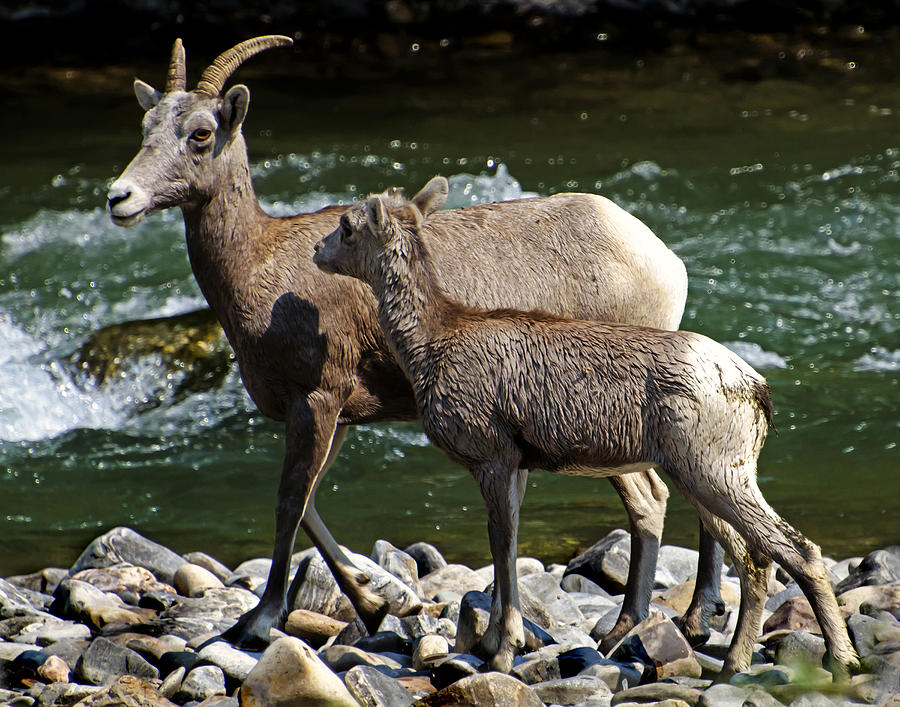 Madison River Rocky Mountain Sheep Photograph  - Madison River Rocky Mountain Sheep Fine Art Print