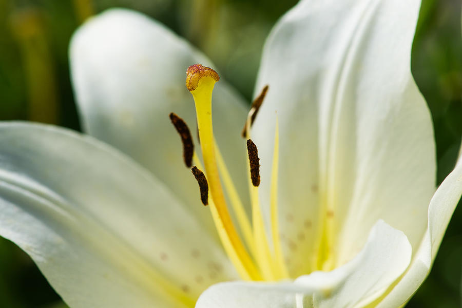 Madonna Lily - Featured 3 Photograph