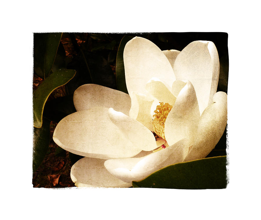 Magnolia Photograph - Maggnolia II by Tanya Jacobson-Smith