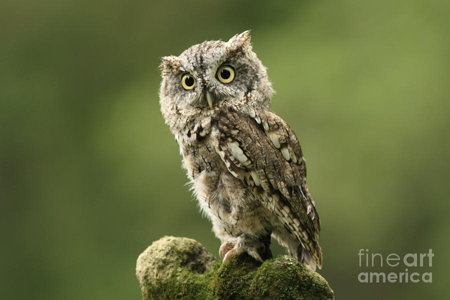 Magnifique  Eastern Screech Owl Photograph