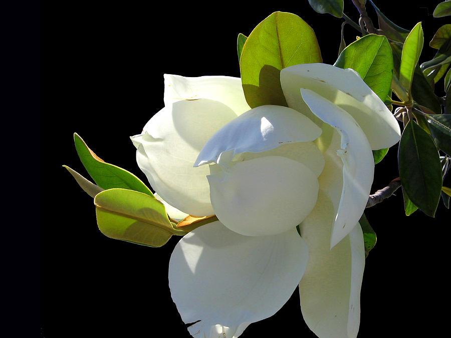 Magnolia Blossom Photograph