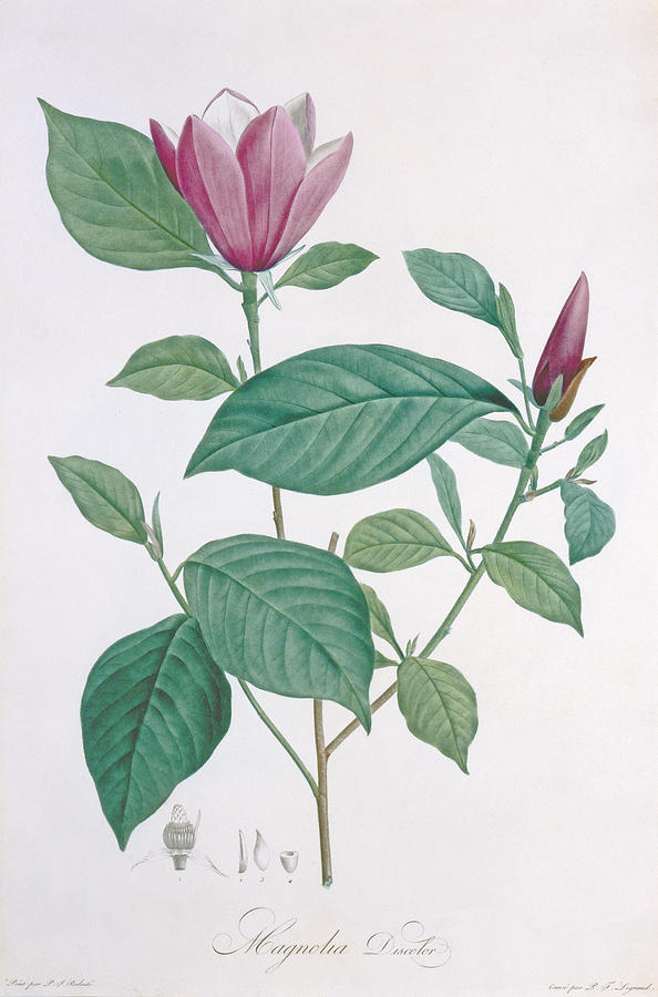 Flower; Bud; Flowering Tree Painting - Magnolia Discolor Engraved By Legrand by Henri Joseph Redoute