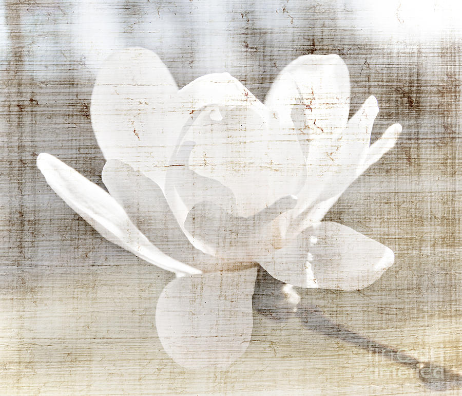 Magnolia Flower Photograph