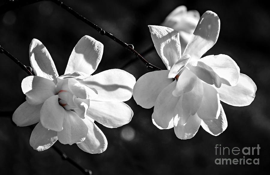 Magnolia Flowers Photograph