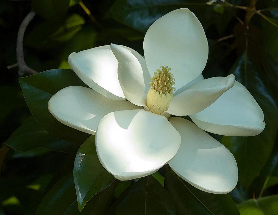 Magnolia Photograph