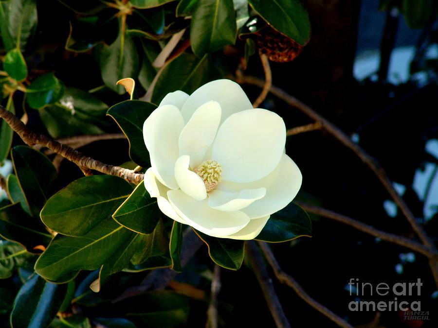 Magnolia Grandiflora Photograph by Hanza Turgul