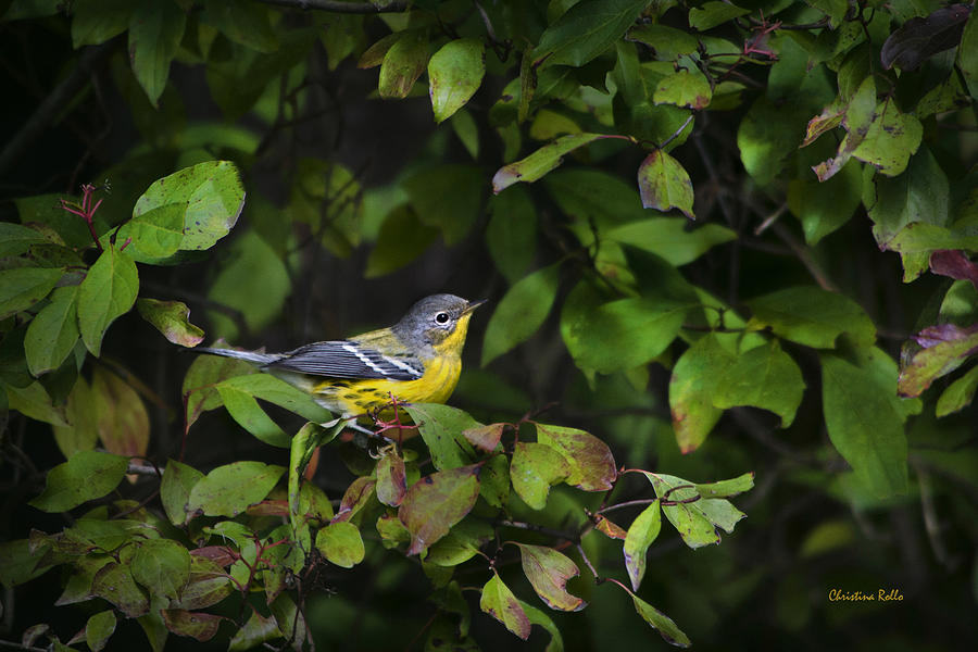 Magnolia Warbler Photograph by Christina Rollo