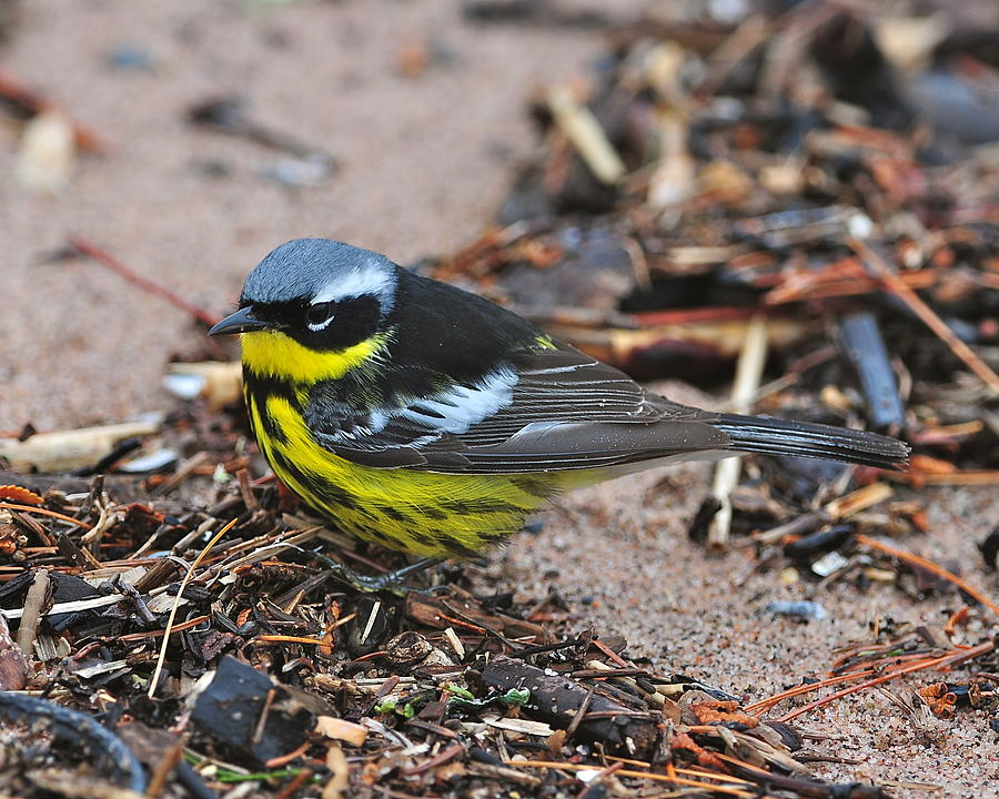 magnolia warbler fall - photo #48