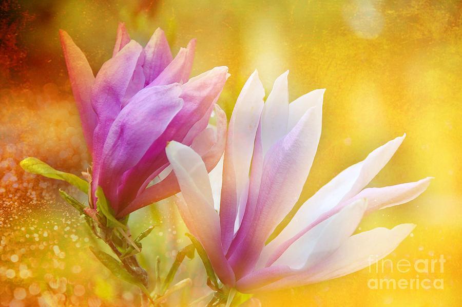 Magnolias Photograph