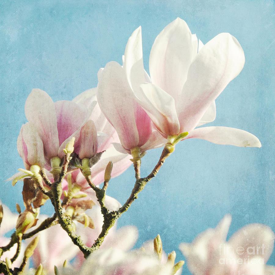 Magnolias IIi Photograph