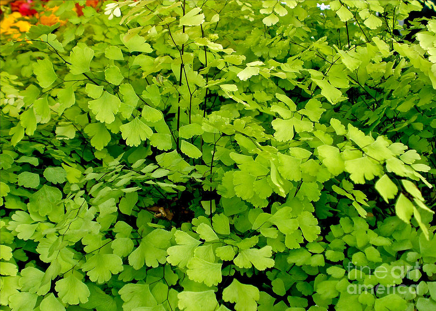 Maidenhair Fern Photograph  - Maidenhair Fern Fine Art Print