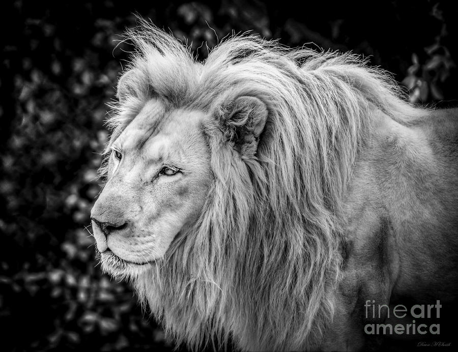 Majestic Lion Black And White The Image