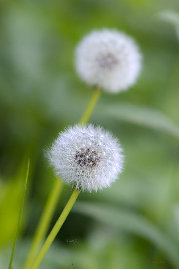 Make A Wish Dandelion Photograph