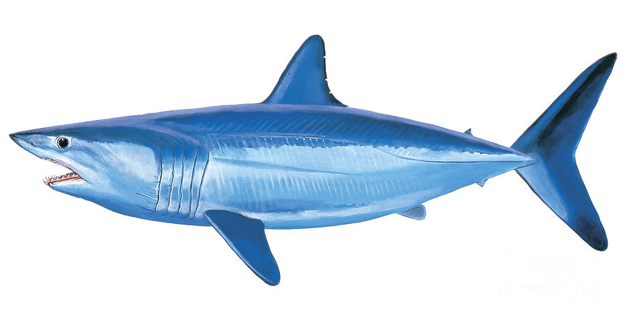 Mako Shark Painting  - Mako Shark Fine Art Print