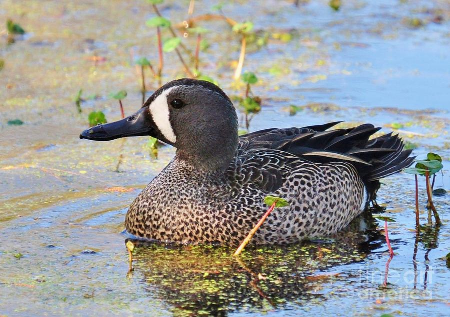 Male Blue Winged Teal Duck Photograph by Kathy Baccari - photo#23