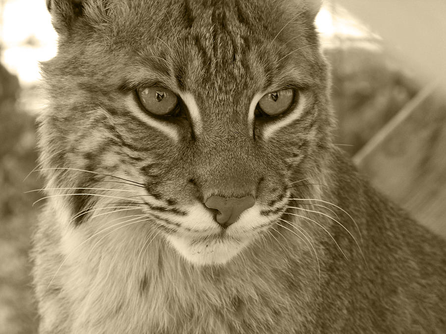 Male Bobcat - Sepia Photograph