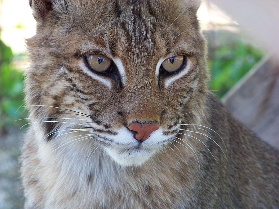 Male Bobcat1 Photograph  - Male Bobcat1 Fine Art Print