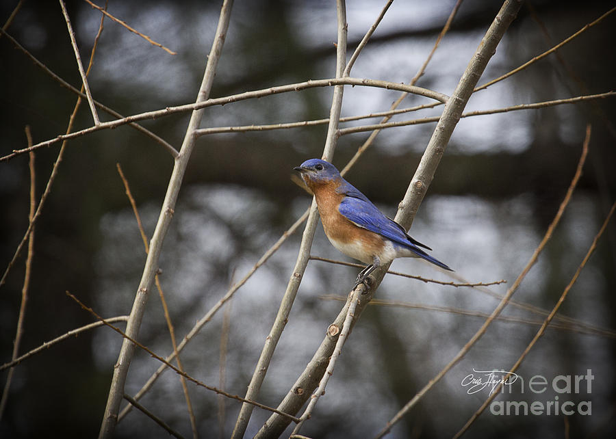 Male Eastern Bluebird Photograph