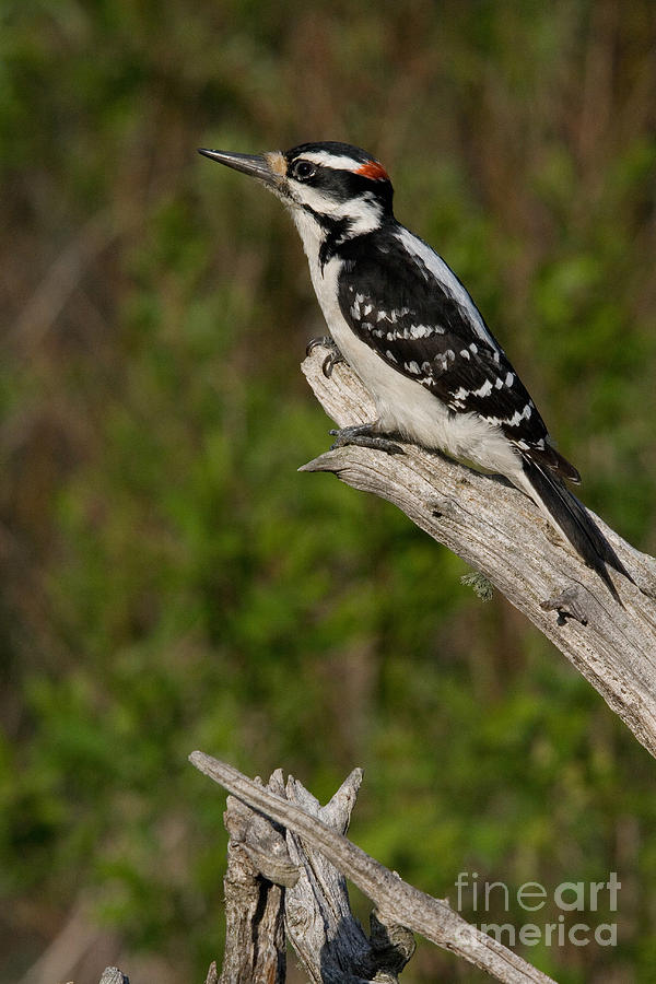 Male Hairy Woodpecker Photograph