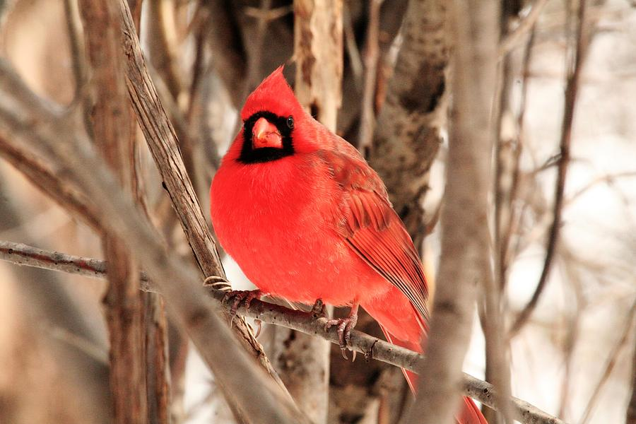 Male Northern Cardinal Photograph